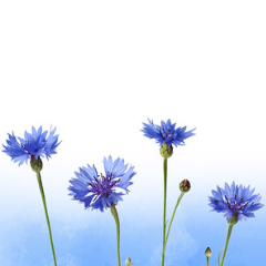 virtual cornflower dedication